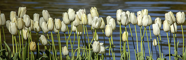 tulips by the lake